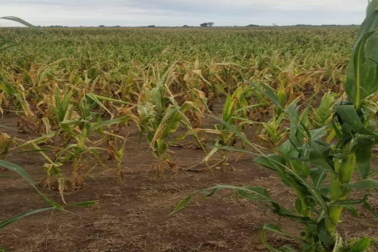 mercado-de-granos:-el-maiz-tardio-cambia-el-patron-comercial-de-la-campana