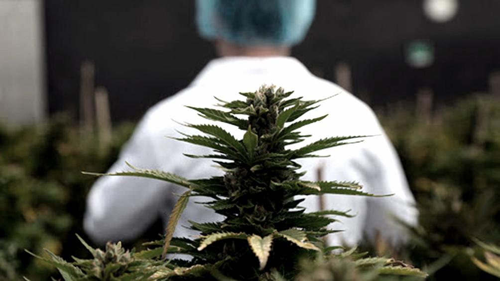 el-senado-aprobo-el-marco-regulatorio-de-produccion-de-cannabis-medicinal